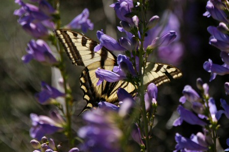 A Tiger Swallowtail on the Penstemon.