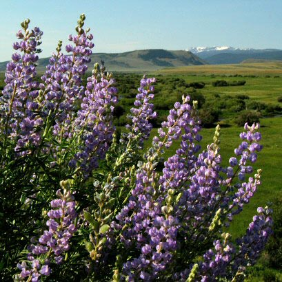 Lupine on Crazy Mountain above Laramie River Dude Ranch.