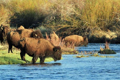 Bison cross the Laramie River.