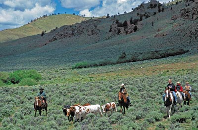 Gathering steers on the Laramie River Dude Ranch